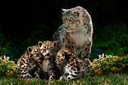 Snow Leopards Prints - Snow leopard and cubs Print by Julie L Hoddinott