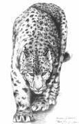 Cheetah Drawings Framed Prints - Snow Leopard Framed Print by Bob Patterson