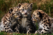 Leopards Digital Art Acrylic Prints - Snow Leopard Cubs - Closeup Acrylic Print by Julie L Hoddinott