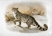 1883 Framed Prints - Snow Leopard Framed Print by Granger
