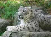 Zoo Animals Photos - Snow Leopard by Jennie Marie Schell