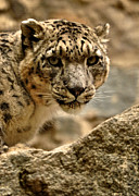 Snow Leopard Framed Prints - Snow Leopard Framed Print by Matt MacMillan