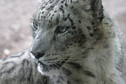 Chris Hill - Snow Leopard Profile