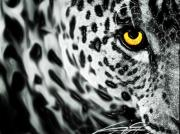 Leopard Hunting Prints - Snow Leopard Print by Steve Thorpe