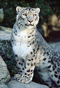 Frontal Prints - Snow Leopard Uncia Uncia Portrait Print by Gerry Ellis