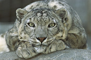Animalsandearth Photos - Snow Leopard Uncia Uncia Portrait by Zssd