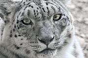 Snow Leopards Prints - Snow Leopard Wild Cat Eyes Print by Tracie Kaska