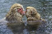 Honshu Photos - Snow Monkey Kisses by Michele Burgess