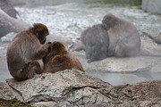 Primates Photos - Snow Monkey  by Scott Hovind
