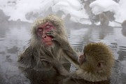 Macaques Prints - Snow monkeys (Macaca Print by Roy Toft