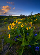 Balsamroot Framed Prints - Snow Mountain Sunset Framed Print by Mike  Dawson