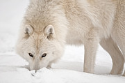 Arctic Wolf Pics Posters - Snow Nose Poster by Michael Cummings