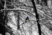 Bluejay Metal Prints - Snow On Beak Metal Print by Simone Hester