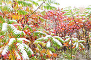 Glabra Framed Prints - Snow on Sumac  Framed Print by Thomas R Fletcher