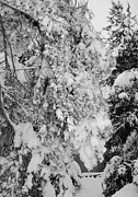 Heavy Weather Prints - Snow On Trees Print by Kathleen Struckle
