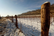 Fencing Originals - Snow on vineyard by Giordano Aita