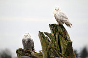 Snowy Art - Snow owls of Boundary bay by Pierre Leclerc