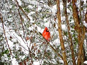 Cardinals. Wildlife. Nature. Photography Prints - Snow Perch Print by Jennifer Wosmansky