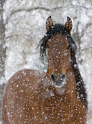 Brown Horse Posters - Snow Stallion Poster by Carol Walker