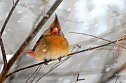 Cardinal In Snow Prints - Snow Surprise Print by Lois Bryan