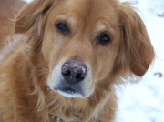 Golden Retriever Snowball Photos - Snowball by Barbara Norfleet