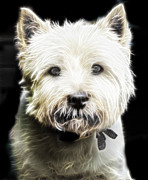Westie Terrier Digital Art - Snowball by Tilly Williams