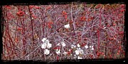 Black Eye Prints - Snowberries And Rosehips Print by Will Borden