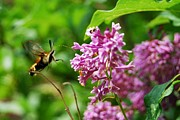 Crissy Sherman - Snowberry Clearwing...