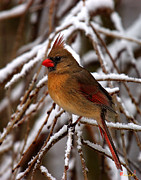 Birds - Snowbirds--Cardinal DSB025 by Gerry Gantt