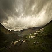 Sheep Framed Prints - Snowdonia Framed Print by Angel  Tarantella