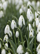 Biological Prints - Snowdrop (galanthus Nivalis) Flowers Print by Adrian Bicker