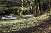 Forest Floor Photos - Snowdrops (galanthus Nivalis) by David Aubrey