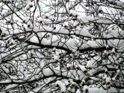 Field Photographs Posters - Snowfall on Branches Poster by Deborah  Crew-Johnson