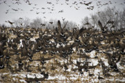 Corn Stalks Art - Snowgeese Galore by Susan Yates