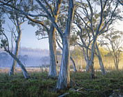 Cradle Mountain Prints - Snowgums At Navarre Plains, South Of Lake St Clair. Print by Rob Blakers