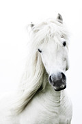 One Animal Metal Prints - Snowhite Metal Print by Gigja Einarsdottir
