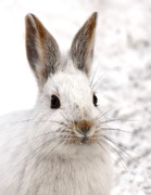 Jim Cumming Posters - Snowshoe Hare Poster by Jim Cumming