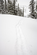 Lasiocarpa Posters - snowshoe tracks between snowladen Subalpine Fir trees at Paradis Poster by Ed Book