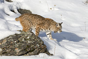 Bobcat Photo Posters - Snowshoes Poster by Dewain Maney