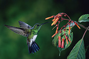 Flower Profile. Posters - Snowy-Bellied Hummingbird Costa Rica Poster by Michael and Patricia Fogden