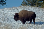 American Bison Prints - Snowy Bison Print by Dakota Light Photography by Nadene
