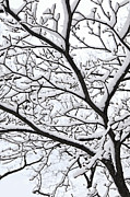 Frozen Branches Framed Prints - Snowy branch Framed Print by Elena Elisseeva