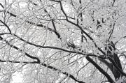 Rime Photo Framed Prints - Snowy Branches Framed Print by Michal Boubin
