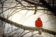 Cardinal In Snow Prints - Snowy Cardinal Print by Deon Grandon