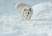 Alaska Wildlife Photos - Snowy Day Stroll by Sandra Bronstein
