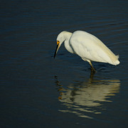Snowy Egret Framed Prints - Snowy Egret 3 Framed Print by Ernie Echols