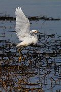 Waterfowl Prints - Snowy Egret . 7D11958 . Vertical Cut Print by Wingsdomain Art and Photography