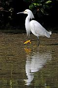 Snowy Egret Framed Prints - Snowy Egret Framed Print by Alan Lenk
