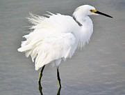 Snowy Egret All Fluffed Up Print by Paulette  Thomas