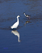 Black Winged Stilt Framed Prints - Snowy Egret and Black-winged Stilt Framed Print by Bill Schaudt